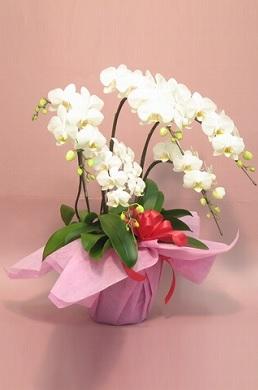 オーキッドスタイルミディ5本立てホワイト。胡蝶蘭 値段 お祝いお花 販売 通販 開店祝い お客様 還暦のお祝い 3本立てランキングおすすめ