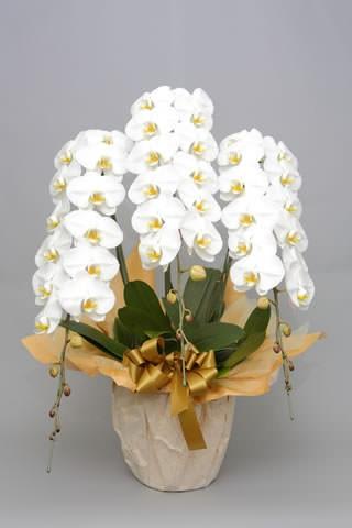 オーキッドスタイルオーディン胡蝶蘭3本立ホワイト胡蝶蘭値段ギフト商品 ミディ 税込お祝い フラワー  還暦祝い 敬老の日 退職のお祝い