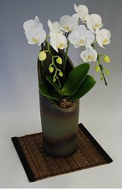 最高級胡蝶蘭「幸福の胡蝶蘭屋さん」ミディ胡蝶蘭アマビリス2本立ち かぐや