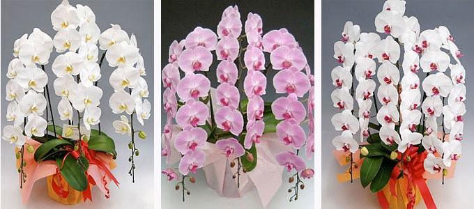 幸福の胡蝶蘭屋さんデラックス3本白ピンク赤29400円胡蝶蘭 値段 お祝いお花 販売 通販 開店祝い お客様 還暦のお祝い 3本立てランキングおすすめ