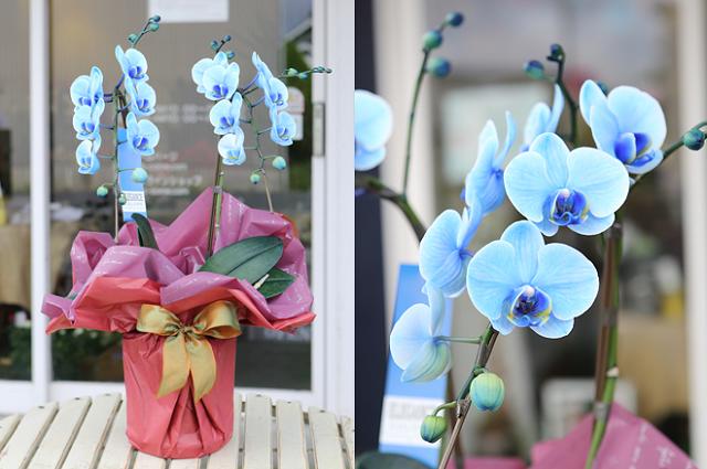 母の日に青や紫のミディ胡蝶蘭、花夢青