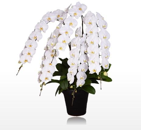当選祝い胡蝶蘭園.comインペリアル大輪胡蝶蘭ホワイト5本立胡蝶蘭値段