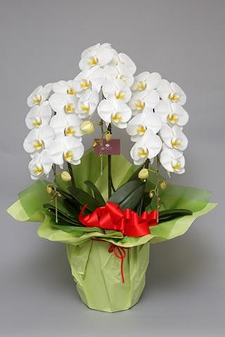 オーキッドスタイルスタンダード胡蝶蘭3本立て個人向け1位胡蝶蘭値段ギフト商品 ミディ 税込お祝い フラワー  還暦祝い 敬老の日 退職のお祝い