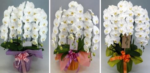 胡蝶蘭値段お祝い、幸福の胡蝶蘭屋さん人気ランキング1位三本立てホワイト