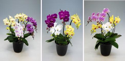 幸福の胡蝶蘭屋さんミディミックス5本立て胡蝶蘭 値段 お祝いお花 販売 通販 開店祝い お客様 還暦のお祝い 3本立てランキングおすすめ