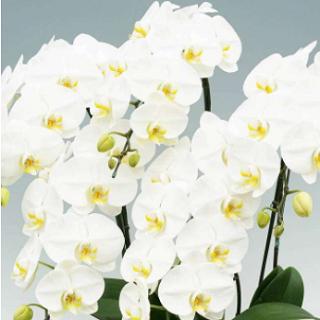就任祝い胡蝶蘭の選び方ガイド。値段相場、色、木札などのマナー、贈るタイミングなど就任お祝い胡蝶蘭で知っておきたい事、そしてネット胡蝶蘭店人気 売れ筋ランキングからおすすめの就任お祝い胡蝶蘭をピックアップしています。