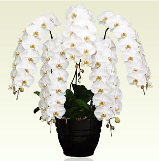 オーキッドスタイル就任祝いオーディン胡蝶蘭5本立ホワイト胡蝶蘭 就任祝い 値段相場価格 お祝いギフト