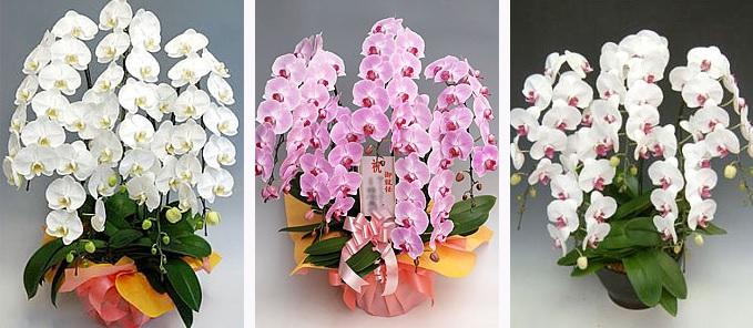 幸福の胡蝶蘭屋さんおすすめ里見たかし座長劇団美山の公演先へ楽屋見舞いの花で胡蝶蘭を。
