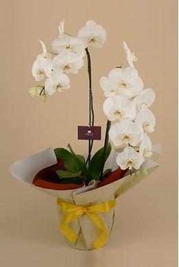 オーキッドスタイルベストセレクト胡蝶蘭2本立ホワイト
