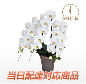 胡蝶蘭園.com【当日配達】プレミアム大輪胡蝶蘭ホワイト3本立