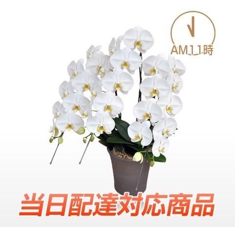 胡蝶蘭園.com【当日配達】プレミアム大輪胡蝶蘭ホワイト3本立。 東京各店のおすすめを値段別や開店祝い、就任祝い、還暦祝い、母の日、敬老の日等シーン別や5本、3本、2本、1本、ミディ、ミニ胡蝶蘭などそれぞれのカテゴリで選べます。