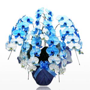 青の胡蝶蘭で人気おすすめのものを2種類ピックアップしています。胡蝶蘭の値段や価格相場、お祝い胡蝶蘭をもっと素敵に選ぶには?胡蝶蘭専門ギフト通販店の特長を比較して人気売れ筋ランキングで胡蝶蘭をご紹介しています。青の胡蝶蘭、ブルーエレガンスの値段相場、選び方についてまとめています。青が好きな方に喜ばれ、珍しく綺麗で目立って記憶に残る胡蝶蘭で青をイメージカラーにした会社店舗への就任祝いや開店祝いなど、個人向けでは応援するファンからの楽屋花などで選ばれています。胡蝶蘭園.com青スタンダード5本