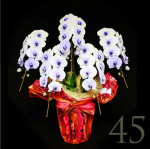 花夢紫の胡蝶蘭5本47輪-2