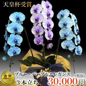 紫の胡蝶蘭ギフトフラワーパープルエレガンス2。胡蝶蘭値段、青、紫、胡蝶蘭通販