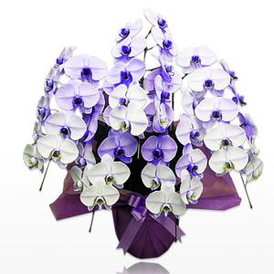 紫の胡蝶蘭、パープルーエレガンスの値段相場、花言葉、選び方etcについてまとめています。パープルが好きな方、似合う方に喜ばれるネット通販ならではの珍しくて優雅な胡蝶蘭、紫をイメージカラーにした会社店舗への就任祝いや開店祝いなどのお祝いなどに選ばれています。胡蝶蘭園.com紫スタンダード5本