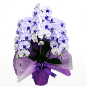 胡蝶蘭園.com紫スタンダード3本