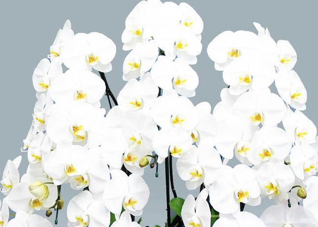 上場祝いの花 胡蝶蘭専科。もっと素敵に記憶に残る胡蝶蘭。hitohana上場祝い1位