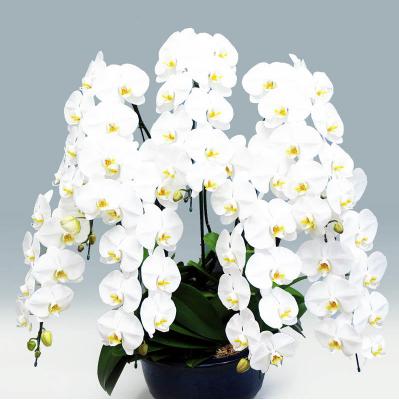 上場祝いの花 胡蝶蘭専科。もっと素敵に記憶に残る胡蝶蘭。