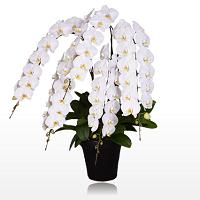 胡蝶蘭園.comインペリアル大輪胡蝶蘭ホワイト5本立約75リン以上60,400円-200