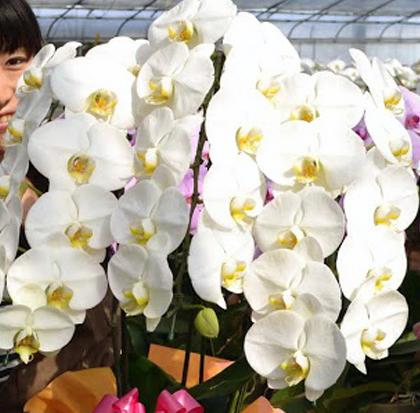 開店祝いの胡蝶蘭を幸福の胡蝶蘭屋さんで選ぶ!
