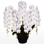 胡蝶蘭園.comスペリオール大輪胡蝶蘭ホワイト5本立45,000円