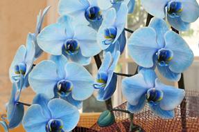 青い胡蝶蘭おすすめ花夢come青ブルーエレンス290