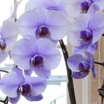 花夢come紫パープルエレガンス290