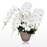 胡蝶蘭園.comプレミアム大輪胡蝶蘭ホワイト5本立34100-150