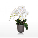 スタンダード大輪胡蝶蘭ホワイト3本立