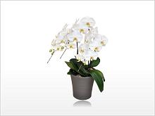 胡蝶蘭園.com15300円レギュラー大輪胡蝶蘭ホワイト3本立220