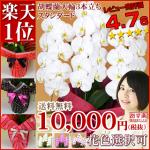 胡蝶蘭値段1万円ランキングはなやか