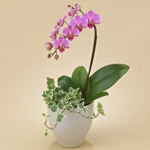 日比谷花壇の1本胡蝶蘭