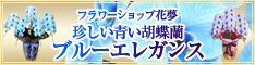 青紫の胡蝶蘭花夢234