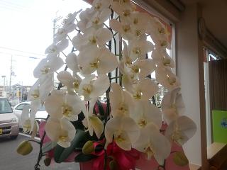 胡蝶蘭値段人気おすすめ3本画像320