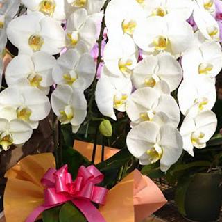 胡蝶蘭3本立ての値段相場の目安を胡蝶蘭ネットショップの胡蝶蘭から比較してまとめています。胡蝶蘭3本の値段は花輪数が約30輪で1万円台から、40輪以上と豪華になっていきます2万、3万円台とになっていきます。