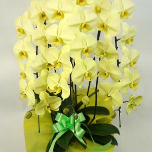 幸福の胡蝶蘭アポロン3本