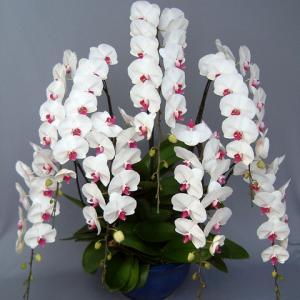 幸福胡蝶蘭値段7本赤白