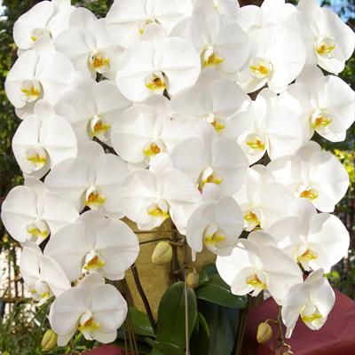 プレミアガーデン白1万胡蝶蘭の値段相場のお祝い胡蝶蘭、人気おすすめ胡蝶蘭について胡蝶蘭専門ネット通販店を値段・価格、サービス満足度等から独自に比較しておすすめ度をランキング形式でご紹介しています。