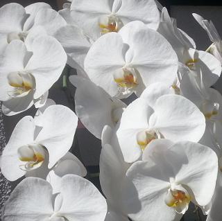 胡蝶蘭は開店祝い、開院祝い、還暦祝いなど胡蝶蘭大輪白がその値段相場と人気になっています。