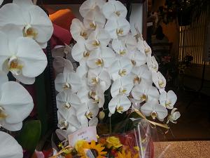 横浜でお祝い胡蝶蘭を当日配達してもらいたい、できれば安く、でも綺麗で見栄えの良い胡蝶蘭をお探しなら、おすすめの胡蝶蘭をまとめてみました。横浜胡蝶蘭当日配達お祝い安い