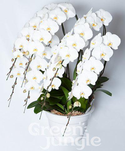 グリーンジャングル胡蝶蘭7本80輪以上400