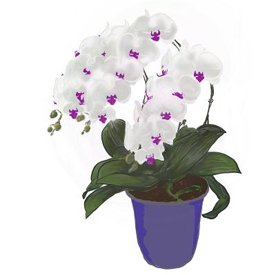 開店祝い胡蝶蘭、胡蝶蘭値段イラスト白紫400