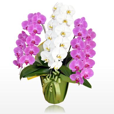 2種類、3種類の色で鉢植えされたミックス胡蝶蘭は、他とは一線を画す法人お祝い胡蝶蘭として人気があります。ミックス胡蝶蘭の値段相場、それといくつかピックアップして一覧にしてみました。ミックス胡蝶蘭胡蝶蘭園.com400