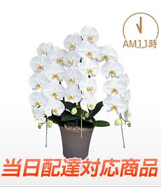 胡蝶蘭園.com3本当日配達230