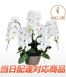 胡蝶蘭園.com5本当日配達230