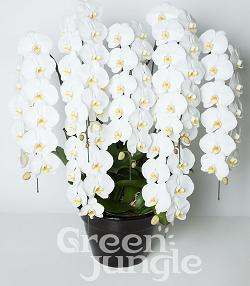 グリーンジャングル7本80輪胡蝶蘭