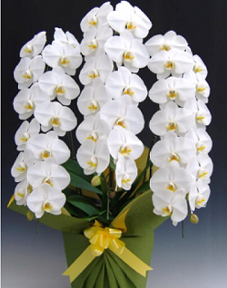 ギフトフラワー胡蝶蘭3本白42輪3万250