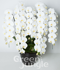 ハナプライムグリーンジャングル胡蝶蘭7本90輪250