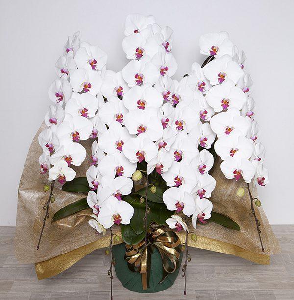 グリーンジャングル胡蝶蘭5本赤リップ70から80輪600ホステス,キャバ嬢,花,相場,値段,胡蝶蘭,誕生日