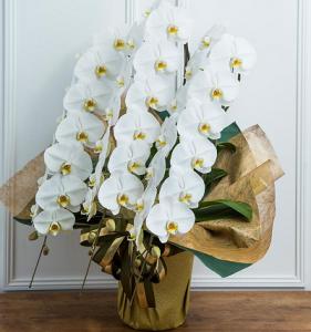 ハナプライムグリーンジャングル胡蝶蘭3本45から48輪斜め400